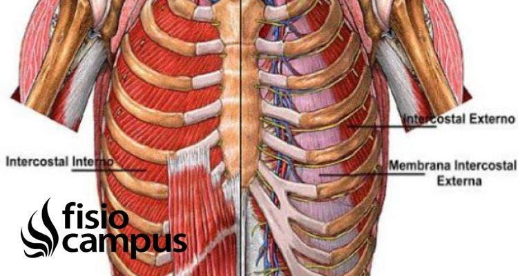 Músculo intercostal interno