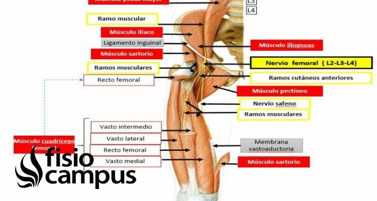 nervio crural