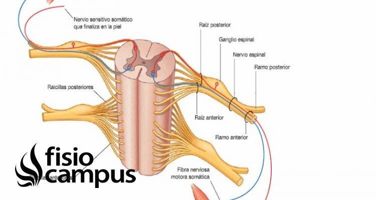 nervio espinal o accesorio