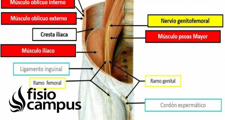 nervio genitofemoral