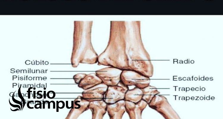 músculo piramidal