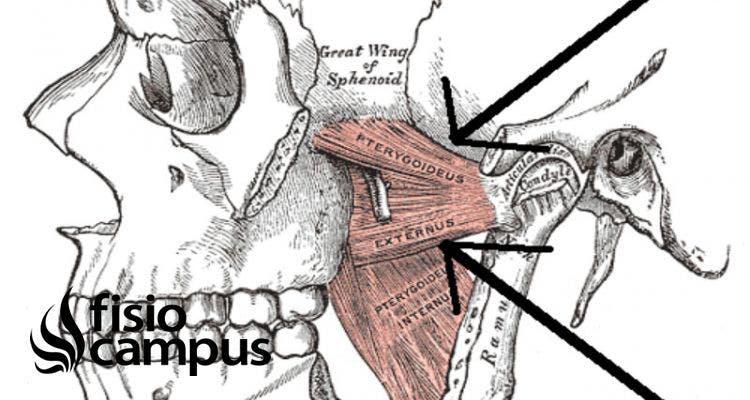 músculo pterigoideo lateral