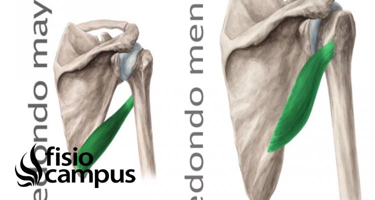 Músculo redondo mayor y menor