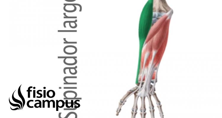 Músculo supinador largo