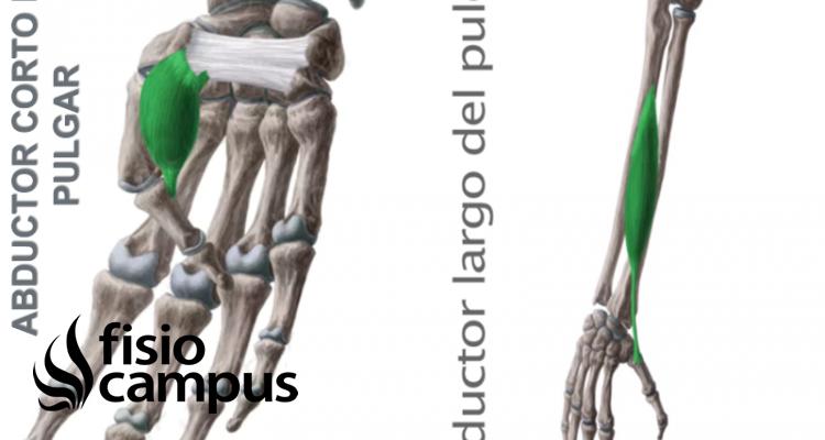 Músculo abductor corto y largo del pulgar