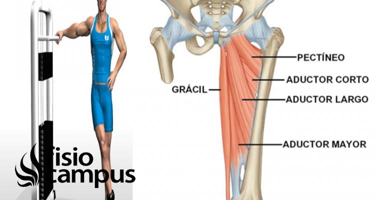 músculoa aductores de cadera