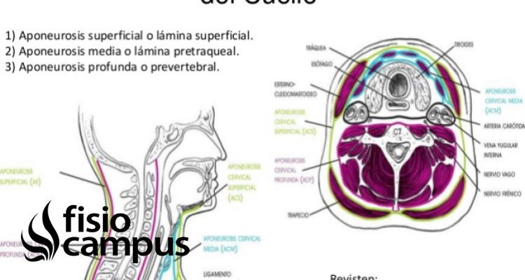 Aponeurosis del Cuello