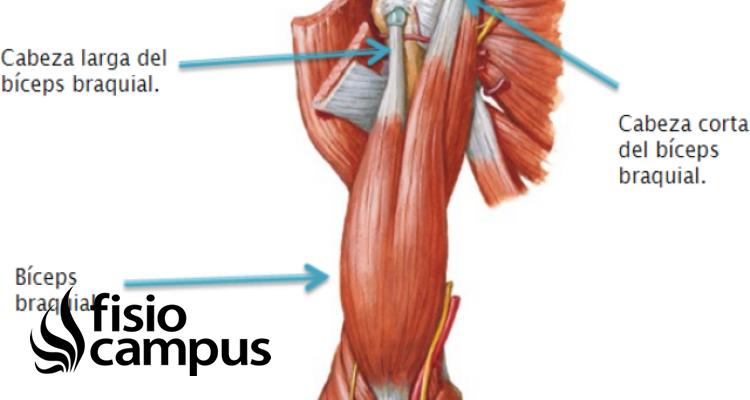 Tendón del bíceps braquial porción larga