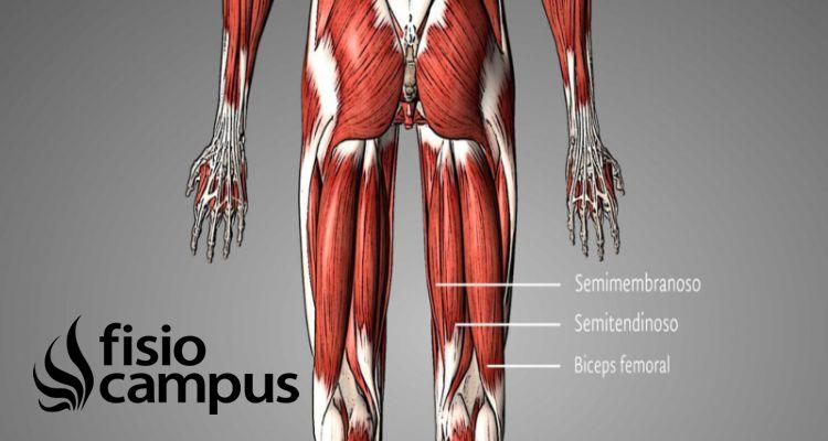 músculo bíceps femoral