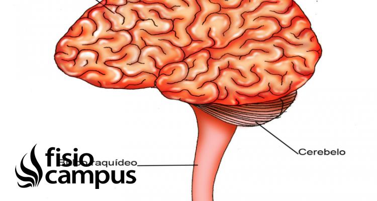 Bulbo Raquídeo Qué Es Ubicación Cómo Funciona Partes Qué Controla Y Lesiones