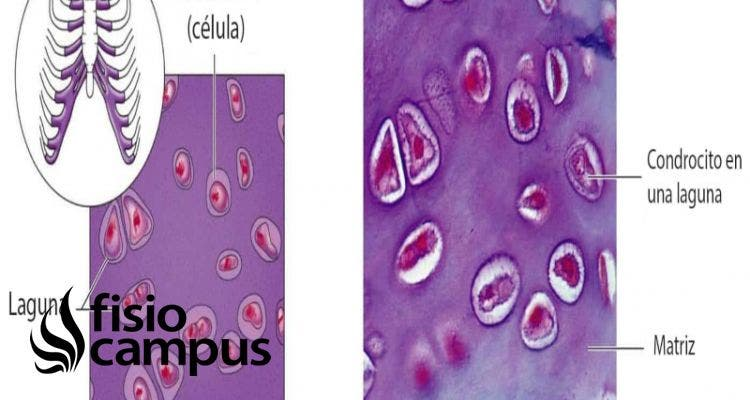 Condrocitos