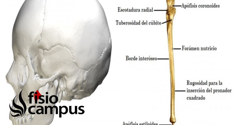 Apófisis coronoides