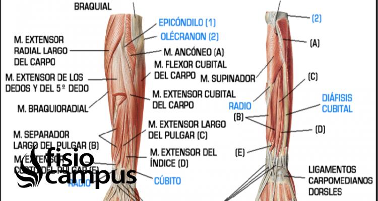 músculos epicondíleos