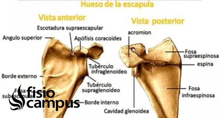 Espina del omóplato