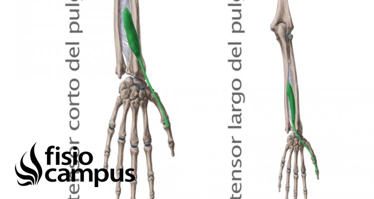 Músculo extensor corto y largo del pulgar