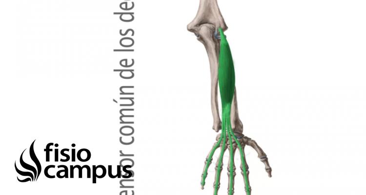 Músculo extensor común de los dedos