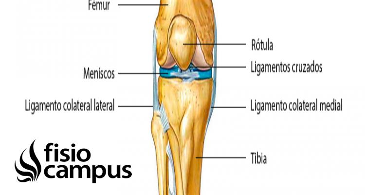 Femorotibial Qué Es Ubicación Tipo De Articulación Movimientos Y Lesiones