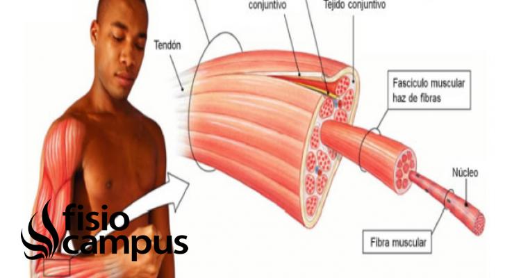 músculos fibra blanca