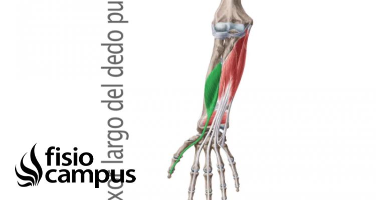 Músculo flexor largo del pulgar