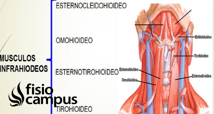 Músculos infrahioideos