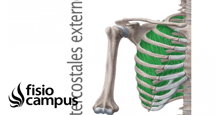 Músculo intercostal externo