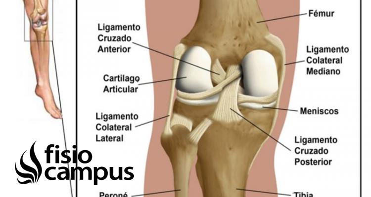 Ligamento lateral externo de la rodilla