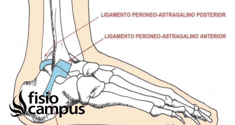 Ligamento lateral externo del tobillo