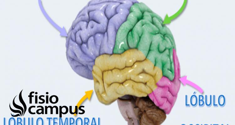 lóblulos del cerebro