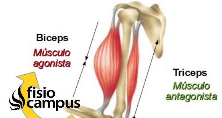 musculatura agonista