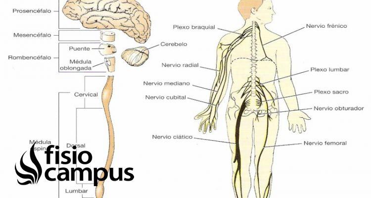 nervios sensitivos