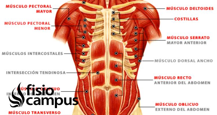 Músculo oblicuo mayor