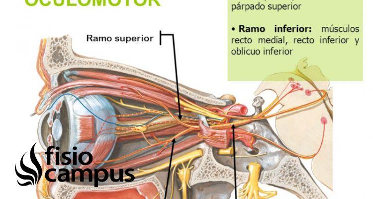 nervio oculomotor