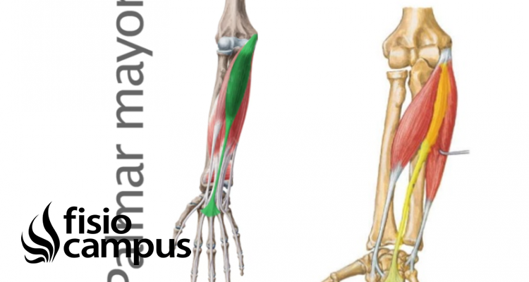 músculos palmar mayor y menor