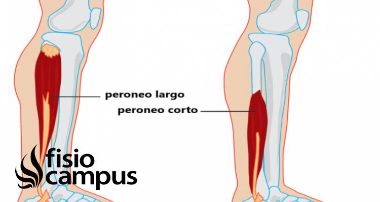 músculos peroneos