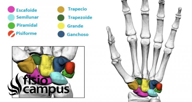 Huesos pisiforme