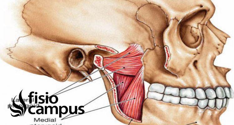 músculo pterigoideo medial