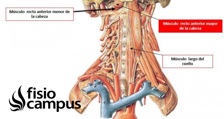 Músculo recto anterior mayor del cuello