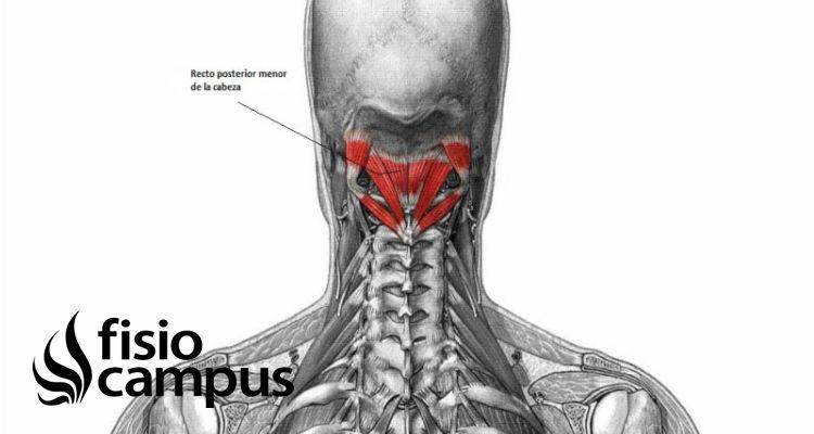 músculo recto posterior menor de la cabeza