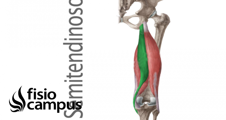 músculo semitendinoso