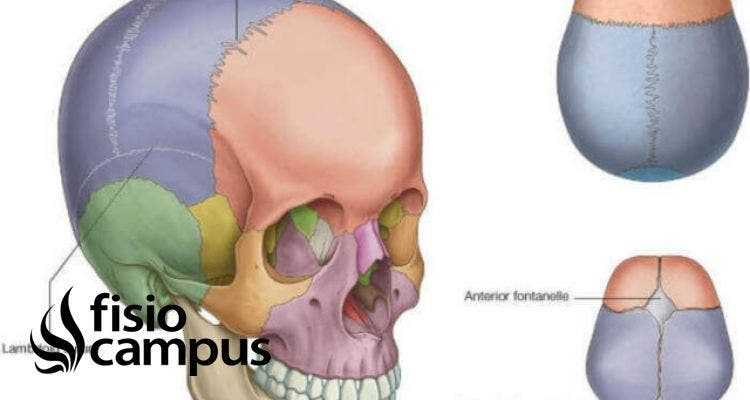 articulación sinartrosis