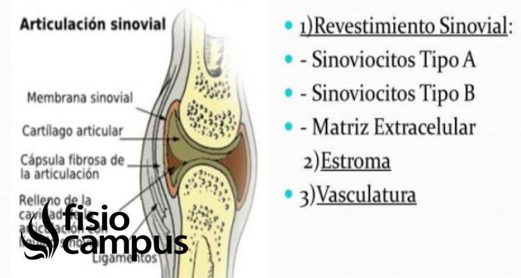Sinoviocitos