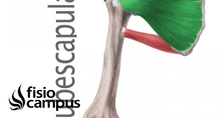 Musculo subescapular