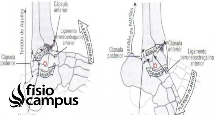 Articulación tibiotarsiana