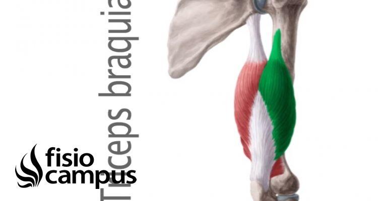 músculo tríceps braquial