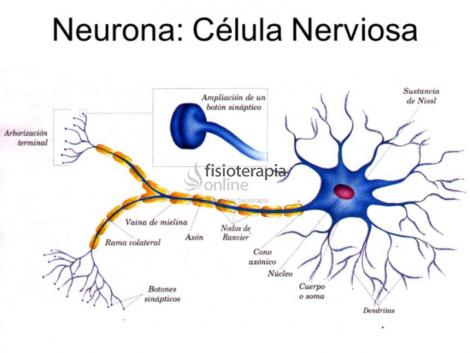 Células Nerviosas Qué Son Clasificación Función Regeneración Y Tiempo De Vida