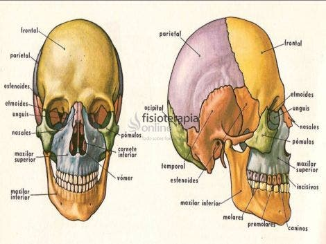 Cráneo Qué Es Significado Dónde Está Función Y Lesiones
