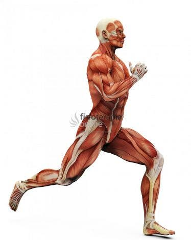 Leg Press in addition Sweat Gland in addition Fisioterapia Online Anatomia Musculo Sustema Muscular Musculos Movimiento Correr together with Nerve Plexuses also Tumblr Mr A Xlohw Rkxks O. on female muscular system