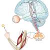Control Motor. Definición, teorías, hipótesis e implicaciones clínicas.