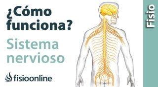 Cómo funcionan LOS NERVIOS o Sistema nervioso  - Qué hace y cómo lo hace