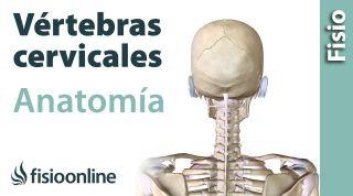 Cervicales. Anatomía, huesos, ligamentos, movimientos y articulaciones